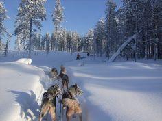 Safari husky au cœur de la fôret de Saariselkä, Finlande