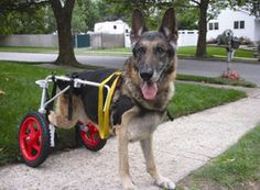 Dog Wheelchair Large Puppy Cart Best Friend Mobility Handicapped Pet | eBay