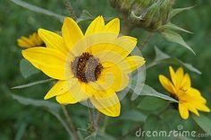 Beautiful sunflower in the garden