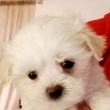 Bernie Maltese Puppy Puppies Puppy Facts Maltese Puppies For Sale