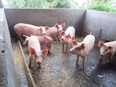 6/23(木)バリ島ウブドのお天気は晴れ。室内温度27.9℃、湿度67%。今日は豚ちゃんに会いました♪カメラを向けたら、みんなでカメラ目線(笑)ブヒブヒブー♪
