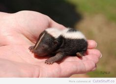 So beautiful and cute, Check out this article for over baby skunk pictures and an oh so amazingly cute baby skunk video Baby skunks. So beautiful and cute, Check out this articl Cute Creatures, Beautiful Creatures, Animals Beautiful, Cute Little Animals, Cute Funny Animals, Tiny Baby Animals, Baby Skunks, Tier Fotos, Mundo Animal