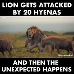 Gets Attached By 20 Hyenas. Lion Gets Attached By 20 Hyenas.Lion Gets Attached By 20 Hyenas. All About Animals, Animals And Pets, Baby Animals, Wild Animals, Amazing Animals, Interesting Animals, Beautiful Cats, Animals Beautiful, Animal Facts