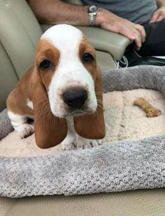 Suddenly, I want a basset hound