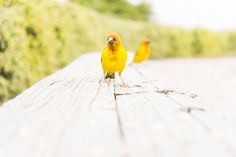 YELLOW WEAVER BIRDS. Bird Print, Wildlife Photography, South Africa, Limited Edition Print, Yellow Weaver Birds Art Prints For Sale, Art For Sale, Fine Art Prints, Bird Prints, Limited Edition Prints, Wildlife Photography, Pet Birds, South Africa, Yellow
