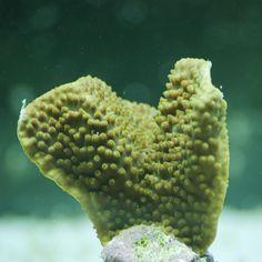 Turbinaria Reniformis El Pez Payaso LPS coral acuario marino acuariofilia