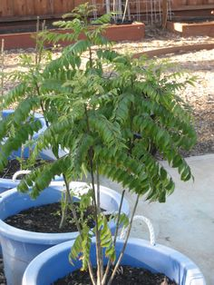 Brindavan in the Bay Area: The Curry leaf plant update Curry Leaf Plant, Curry Leaves, Container Gardening, Herb Gardening, Replant, Herbal Medicine, Bay Area, Outdoor Gardens, Herbalism