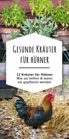 Hol Dir Deinen Hühner-Kräuterplan - Bio Hühner Kräuter Which kitchen herbs and garden herbs are healthy for chickens? Which flowers and herbs you can plant in the garden for healthy laying hens and ch Herb Garden In Kitchen, Kitchen Herbs, Herbs Garden, Best Chicken Coop, Chicken Feed, Real Plants, Large Plants, Planting Succulents, Planting Flowers