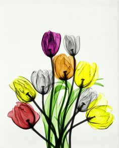x-ray of tulips, colorized