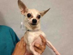 ●8•15•16 STILL THERE!●Manhattan center ORIGAMI – A1085029 FEMALE, TAN / BROWN, CHIHUAHUA SH, 6 yrs STRAY – ONHOLDHERE, HOLD FOR EVICTION Reason OWN EVICT Intake condition UNSPECIFIE Intake Date 08/11/2016, From NY 10460, DueOut Date 08/18/2016, I came in with Group/Litter #K16-069628