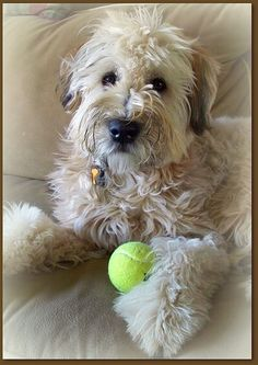 Wheaton Terrier With Tennis Ball