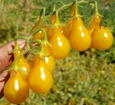 Organic Heirloom 1100 Seeds Pear Yellow Gold Tomato door seedsshop, $1.74