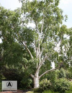 Betula utilis 'Doorenbos' - Brzoza pożyteczna 'Doorenbos' - Szkółki Kurowscy