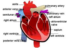 Pin de cat quinn em heart pinterest observao anatomia humana circulatory system heart smaller diagram where the heart is located use the model of a ccuart Images