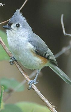 Tufted Titmouse  Habitat: Deciduous woodlands, preferably in swamps and river bottoms; has adapted to residential wooded areas.  Diet: Insects, berries and seeds.  Backyard Favorites: Sunflower and safflower seeds, most kinds of nuts, peanut butter and suet.
