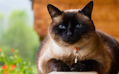Download wallpapers Siamese, 4k, muzzle, cute animals, cats, pets, Siamese Cat