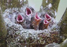 Vogelkunde: Per Eizahn ans Licht der Welt (Foto (Jürgensen): Junge Schwanzmeisen im Nest)