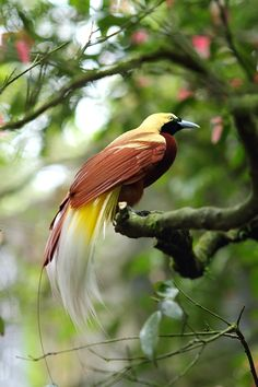The Lesser Bird Of Paradise Cendrawasih Papua Indonesia