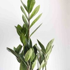 Snake Plant Care Guide   Fiddle & Thorn Zz Plant Care, Snake Plant Care, Peace Lily Care, Ferns Care, Low Lights, House Plants, Plant Leaves, Light House, Propagation