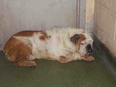 SCARED and SUPER URGENT - TYSON  (A1004670) I am a male fawn and white American Bulldog. *BREED CORRECTED ENGLISH BULLDOG*   The shelter staff think I am about 6 years old.   I was turned in by my owner and I am available for adoption.  Miami Dade County Animal Services. https://www.facebook.com/urgentdogsofmiami/photos/a.217635851604159.64709.191859757515102/749147128453026/?type=3&theater