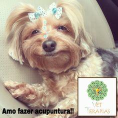 Gogi fazendo acupuntura em domicílio! Será que está gostando?? www.vetterapias.com.br  Dra Flávia Oliva
