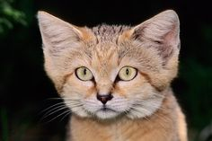 The Arabian Sand Cat Facts - With Pictures | Best Pets | Dog ...