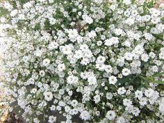 Gypsophile (Gypsophila) - Fleur du jardin, plantation et entretien