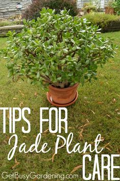 Jade plants are easy to care for succulents, and they make great houseplants. I want to help make you a successful jade plant grower too! So, here are some detailed Tips for Jade Plant Care! | GetBusyGardening.com