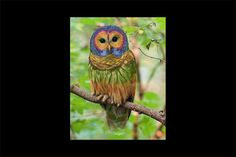 A viral image claims to offer evidence of a rare species of rainbow owl that lives in the western United States and China. Cute Owls Wallpaper, Rainbow Wallpaper, Owl Species, Rare Species, Fake Birds, University Of Montana, Long Eared Owl, Screech Owl, Barred Owl