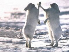 High five!!! Ha ha this made me laugh because  im researching the snowshoe hare!!