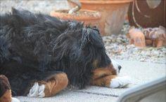 Haustiere und das Corona Virus - WHO erläutert für besorgte Tierfreunde  Golden Retriever, Dogs, Animals, Crowns, Pets, Pet Dogs, Animales, Animaux, Doggies