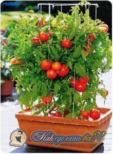 Как вырастить помидоры на подоконнике? Фото. Инструкция
