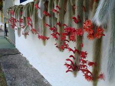 Este original y decorativo cactus es oriundo de América del Sur, concretamente de Bolivia. Sus ramas crecen hasta 1 metro de longitud y tienen tendencia a colgar de la maceta. Al estar recubiertas de finas espinas que asemejan pelo tiene un claro parecido a las colas de los monos. Su nombre científico también hace referencia a dicho parecido, Hildewintera colademononis.  Las espinas han evolucionado hasta formar finos filamentos cuya misión es atrapar la humedad del aire. Se trata de una…