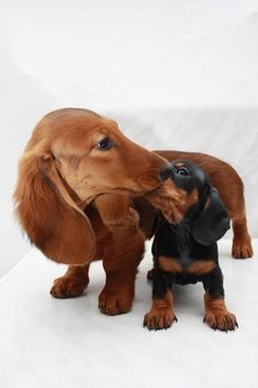Hey, no secrets! (How cute are these two?) ; ) - photo via Crusoe the Celebrity Dachshund #dachshund