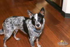 Bodingo the Blue Heeler at Cali Bamboo. He loves our Fossilized Java bamboo flooring.