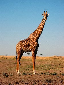 Beautiful Masai Giraffe Posing