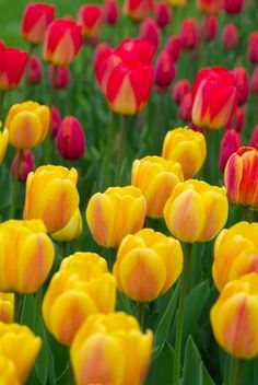 The Best Ways to Plant Tulip Bulbs