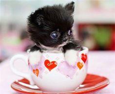 Top 5 Most Adorable Teacup Cats #teacupdogslist #teacupdogs #teacupbreeds #popularTeacups