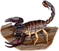 Full color illustration of a Pacific Forest Scorpion (Uroctonus mordax)