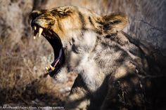 Etosha Park Namibia Lion, Africa, Park, Animals, Adventure Trips, Leo, Animales, Animaux, Lions