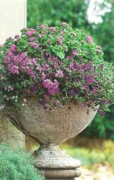 Purple alyssum is one of my favorite container and border plants. It is beautiful, blooms all summer, and has a sweet scent in the evening. It needs to be kept moist or it suffers.