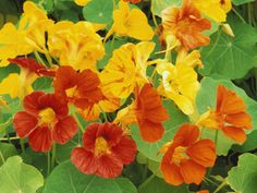 Nasturtium Flower Color Varieties, Tropaeolum, USA Photographic Print by Adam Jones at AllPosters.com