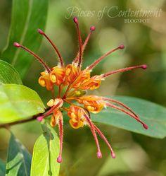 A Grevillea - Australian native plant
