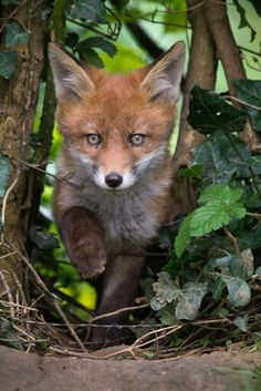 Red Fox Cub by Lawrie Brailey Forest Animals, Nature Animals, Woodland Animals, Animals And Pets, Baby Animals, Cute Animals, Woodland Creatures, Fuchs Baby, Young Fox