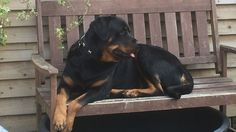 Teddy is a 2 year old Rottie who is in need of a loving home with an experienced owner. Teddy is house trained and totally clean. He has been castrate...