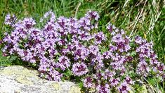 plants for an alpine rock garden thyme-flowering-herb-purple-flowers-alpine-plants-for-rock-garden-rockerythyme-flowering-herb-purple-flowers-alpine-plants-for-rock-garden-rockery Rockery Garden, Rock Garden Plants, Garden Stones, Alpine Garden, Alpine Plants, Plantes Alpines, Laurier Sauce, Thymus Serpyllum, Thyme Flower