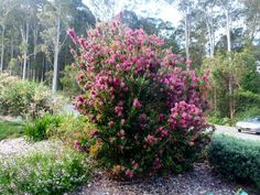 Callistemon  Áll Aglow  is  a stunning beautiful bottlebrush, with luminous-pink new growth.Upright shrub 2.5m tall. Can be cut as hard as you like, to form the hedge you require.