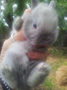 Netherland Dwarf bunny.