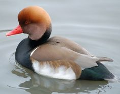 The Red-Crested Pochard  This large diving duck breeds in southern Europe and…