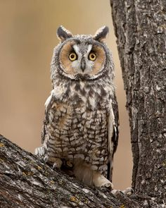 Waldohreule - Long-eared Owl by Jeff Wendorff